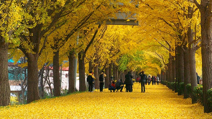 The Asan Gingko Tree Road is lined with towering trees, the leaves of which turn a golden yellow in the fall.